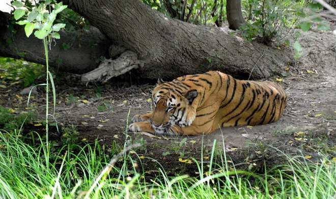 हैदराबाद के प्राणी उद्यान के 8 शेरों को कोरोना की पुष्टि!