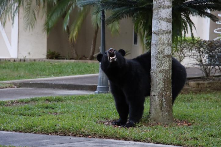 ओलंपिक बेसबॉल स्टेडियम में दर्शकों के प्रवेश की मनाही, मगर घुस गया भालू!